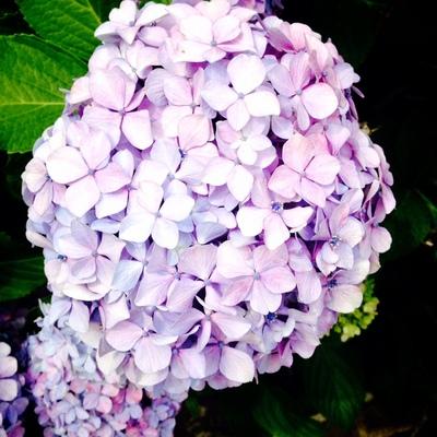 紫陽花jpg